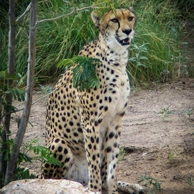 South African Cheetah that came to the ABQ BioPark in 2004 by way of the Fossil Rim Wildlife Center in Texas, where she was born in 2002 and pass...