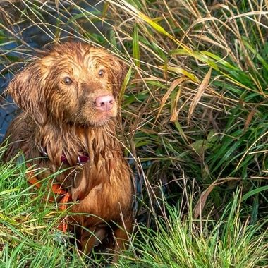 My Nova Scotia Duck Tolling Retriever