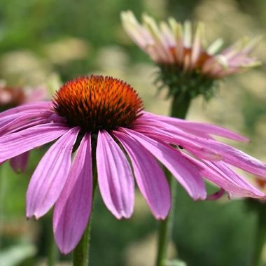 Coneflower in the gardens
