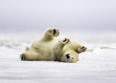 Polar Bear Scratch