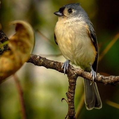 Tufted Titmouse taking a timeout.  #trailsend #tuftedtitmouse #birding #birdwatching #birdphotography #outthebackdoor #backyardnature #canon_photos #canonphotography #best_birds_of_world #best_birds_of_ig #elite_worldwide_birds #pocket_birds #raw_birds #i