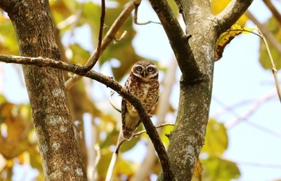 ID: The Spotted Owlet.
