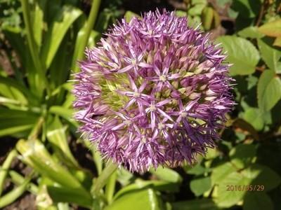 Pretty Purple Allium