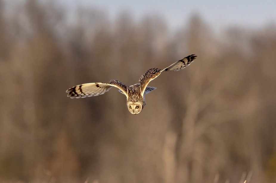 A short-eared owl in flight at the Shawangunk Grasslands. This image was taken by Debbie Quick fr...