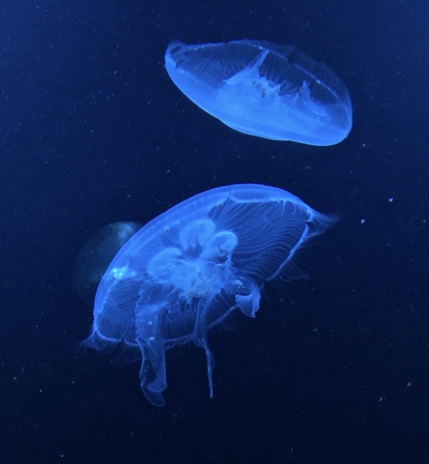 Jellyfish taken at an aquarium