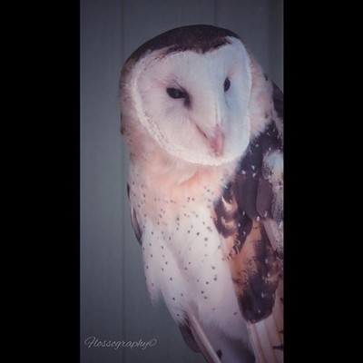 Barn owl #owlsofinstagram #owl #toowoomba #darlingdownszoo #birdsofinstagram #birdsofprey #Hey_ihadtosnapthat #australiagram #focusaustralia #australia_shotz #ig_down_under #ig_creativephotography #instalike #ig_aussiepix #1more_australia #australiacolors