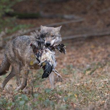 wolf met prooi