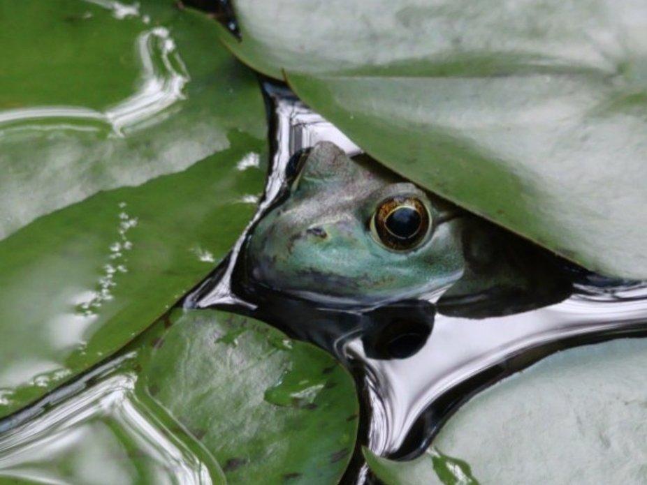 Bullfrog, green, water, colors, nature, pond,life, summer, amphibian, reptile, eyes, happy, life,...