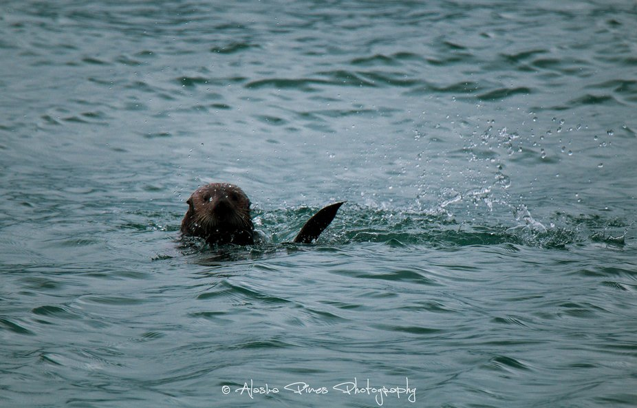 This guy wasn't fazed by the rain, he was munching on kelp, and splashing around in the ...