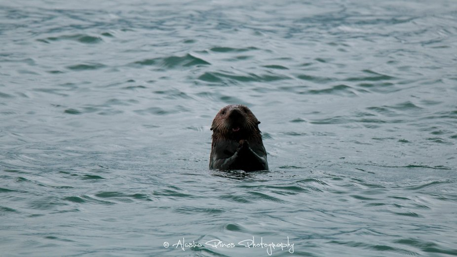 This little guy kept making the cutest faces while he munched on kelp in Seward, Alaska.