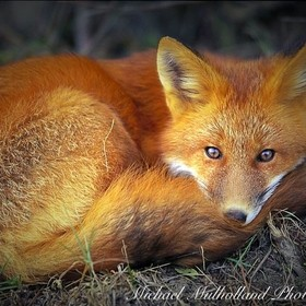 Fox curled up recovering from injury at a wildlife rescue and sactuary