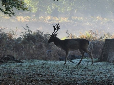 The Stag on a Misty morning.