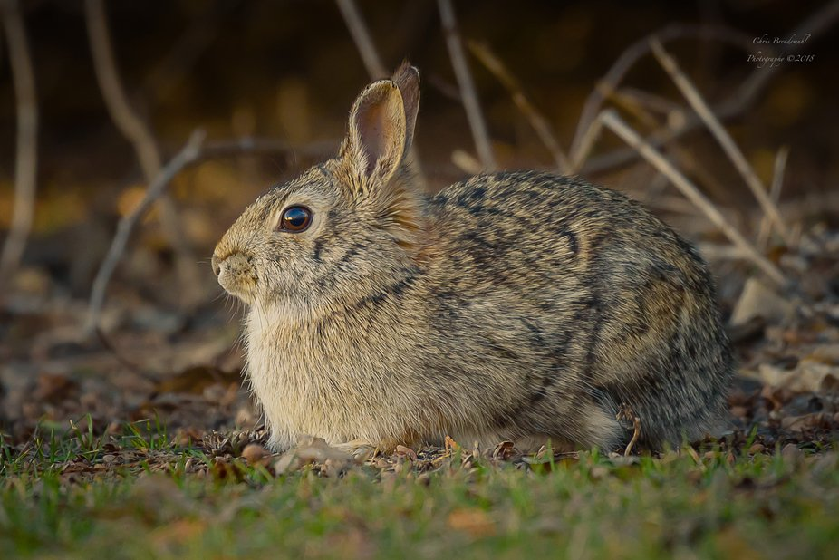 We have a few Cottontails that hang out in our backyard. I think they feel protected by our dog w...