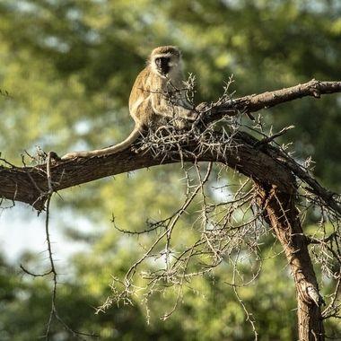 Black Face Monkey in Tree
