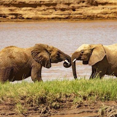 Bull Elephant Meeting