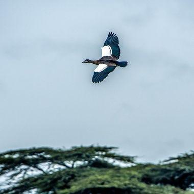 Goose Over Acacias