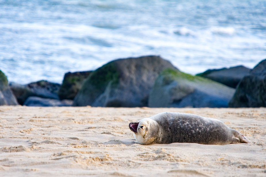Went to see the seals at Horsey Gap in Norfolk.