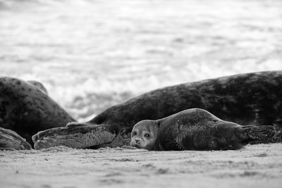 Grey seal in black and white