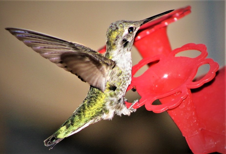 Hummingbirds the smallest birds in the world