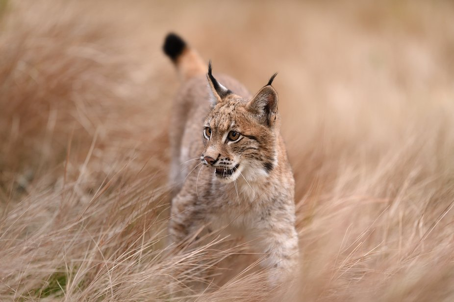 Young male Eurasian lynx (Lynx lynx) - . animal in human care.