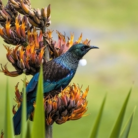 Tuis on flax flowers. Beautiful songbirds are feeding on these spring flowers, all day every day. Just had to wait for the light to bring out the...