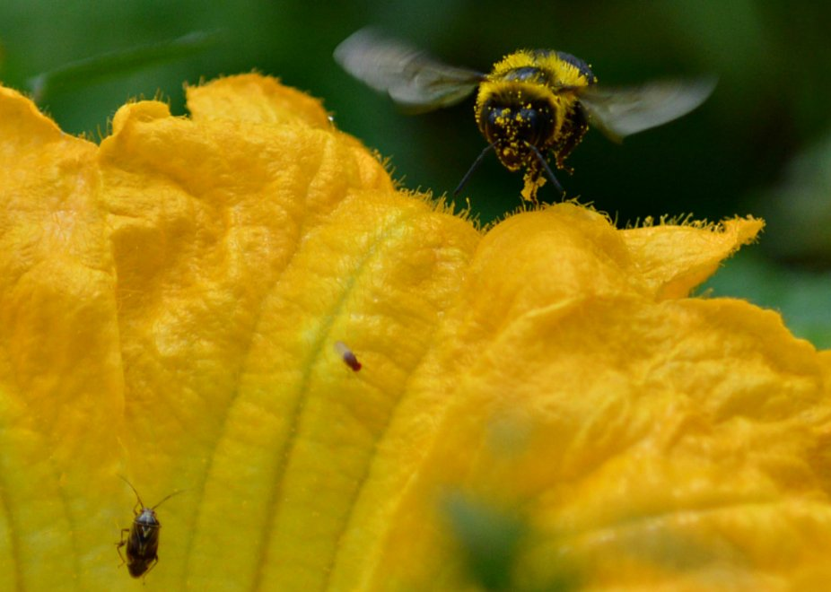 Macro of bee coming towards the camera.