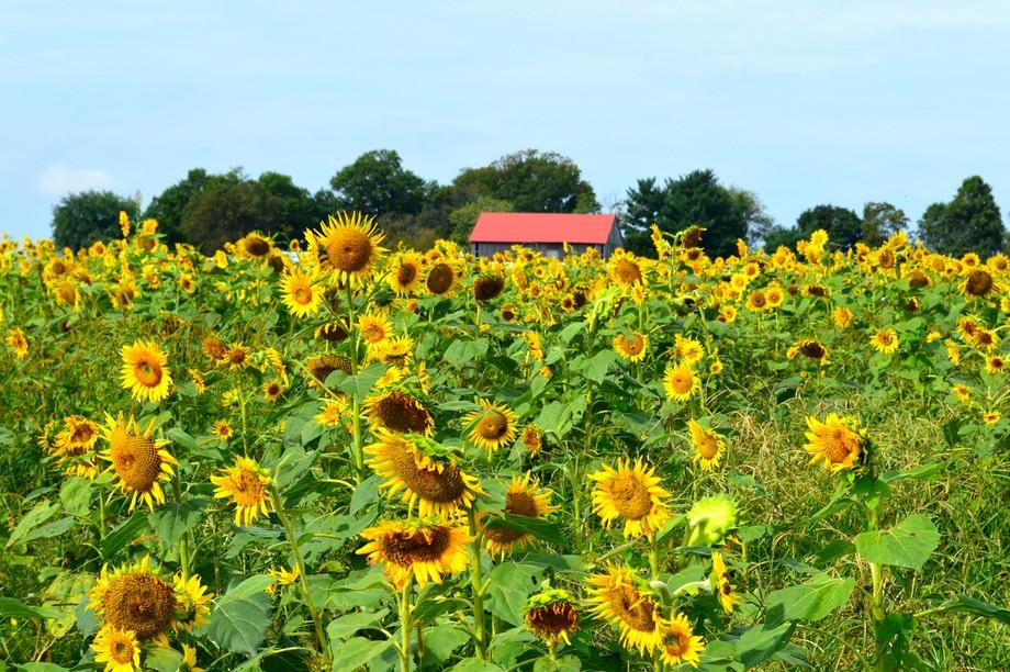 Barn Behind the Sunflowers