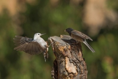 Dark-Eyed Junco face off with White-Breasted Nuthatch -7625