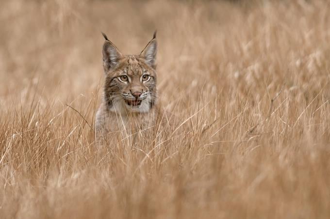 I wait...(Lynx  Iynx) by ALBESA - Social Exposure Photo Contest Vol 17
