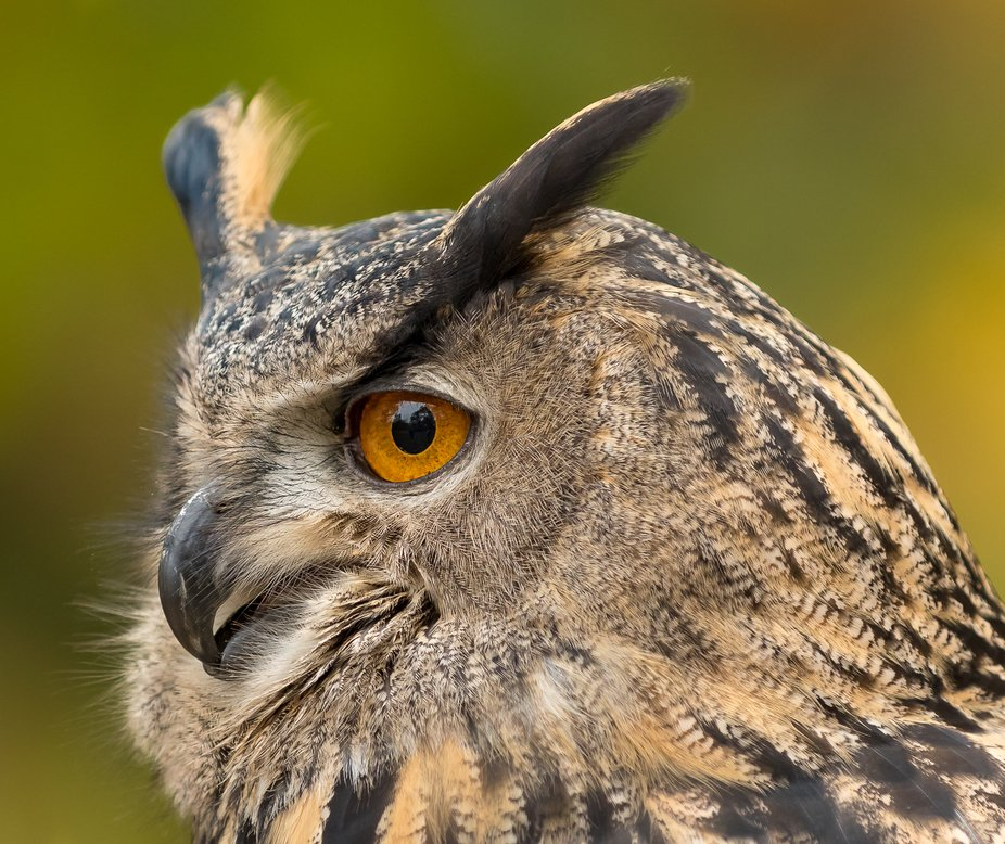 portrait of great horned owl