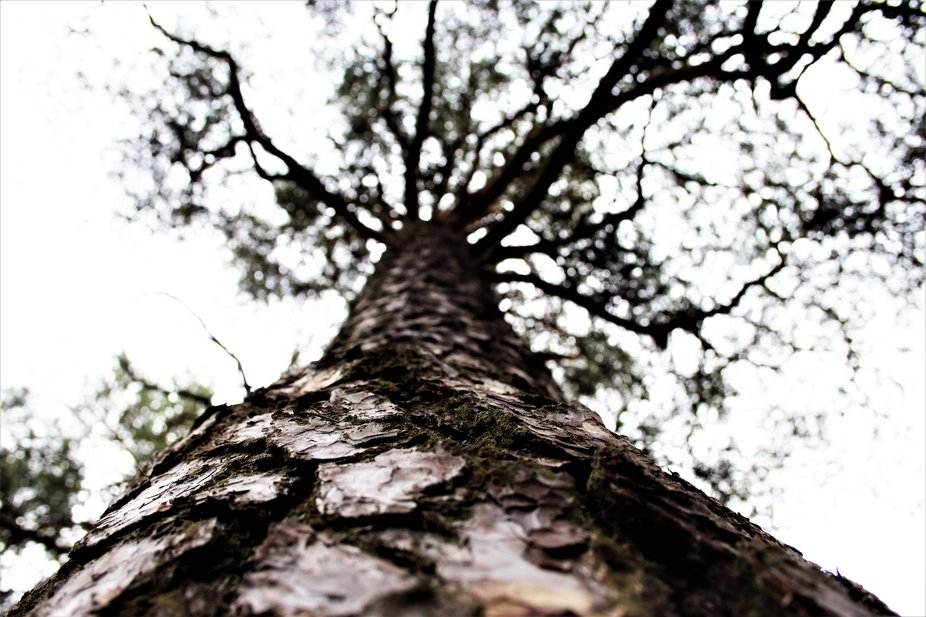 Old pines form strong bark, almost like a shield. We call that 'kilpikaarna' wh...