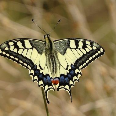 Swallowtail butterfly on a grass stalk