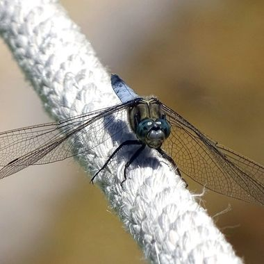 Dragonfly resting on a rope