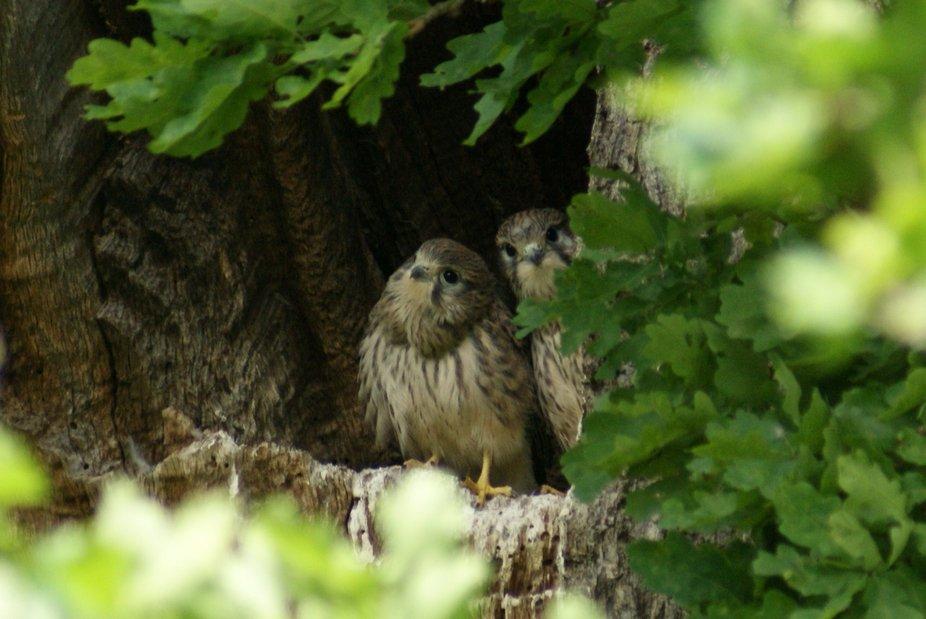 2 young kestrels in Windsor Great Park