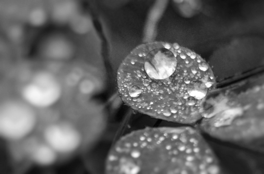 BW Raindrop Clover