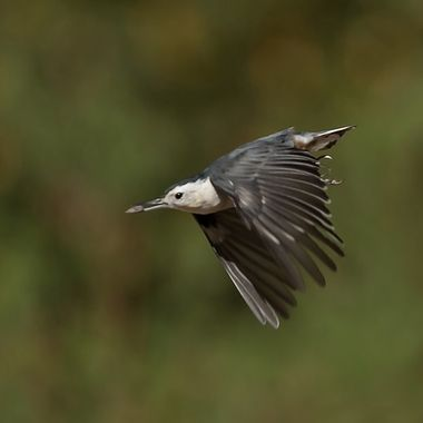 White-Breasted Nuthatch -7813