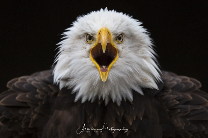 Majestic Eagle by Anneliese-Photography - Majestic Eagles Photo Contest