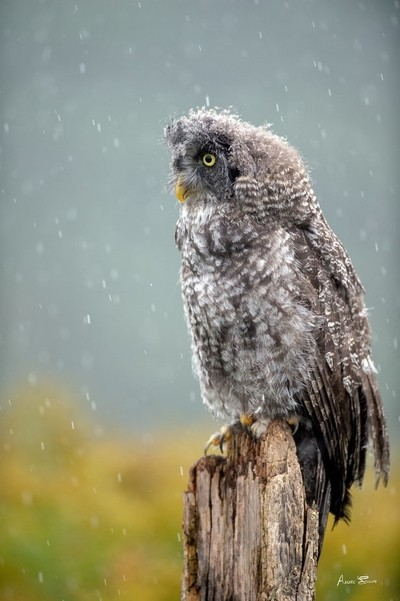 Great grey owl in the rain