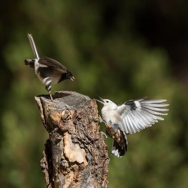 Dark-Eyed Junco and White-Breasted Nuthatch face off -7720