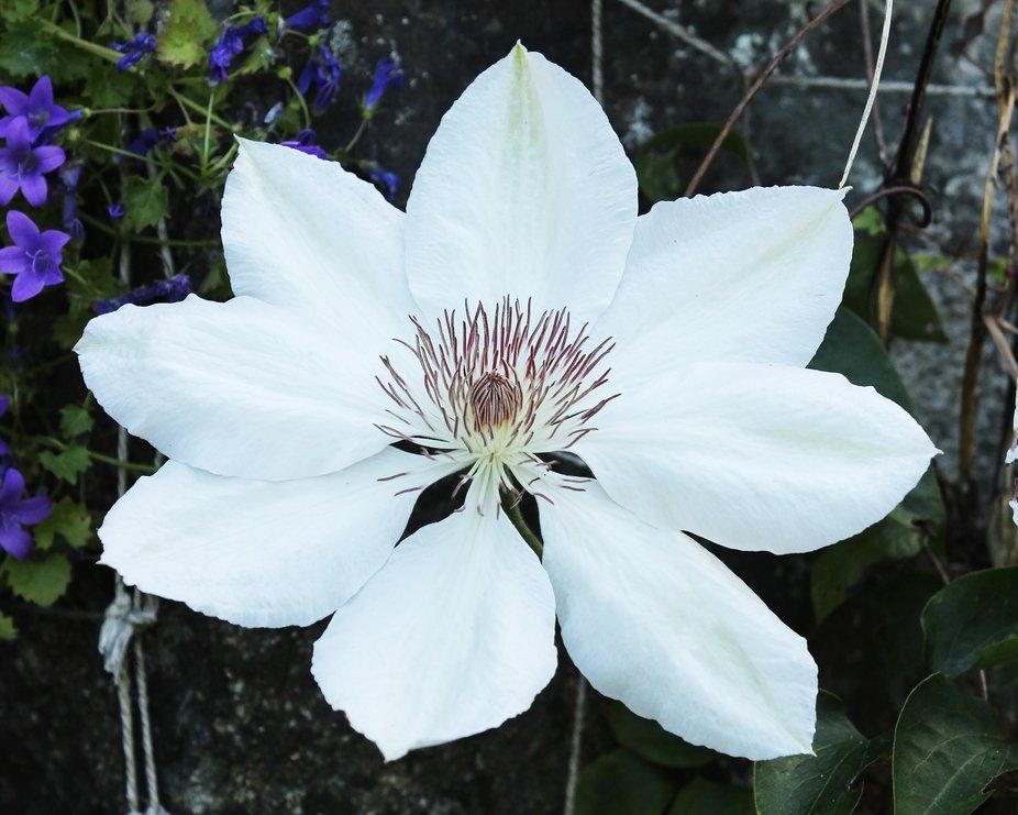 Lovely plant from Bodnant Gardens