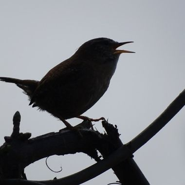 Silhouette of a wren singing on a branch
