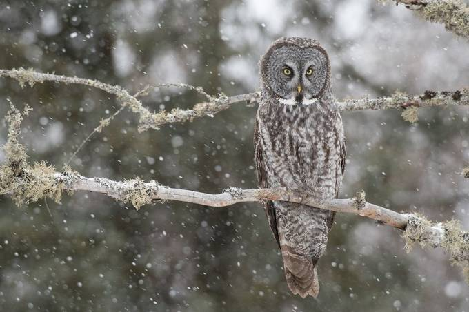 Great Grey on a Snowy Day by BruceLeventhal - Beautiful Owls Photo Contest