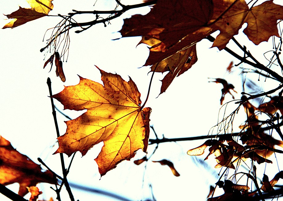 Autumn in abstraction. A branch of maple. Ukraine.