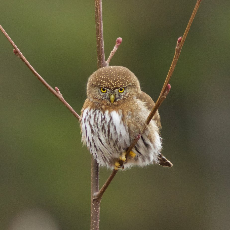 I'm Serious! by Powerkey - Beautiful Owls Photo Contest