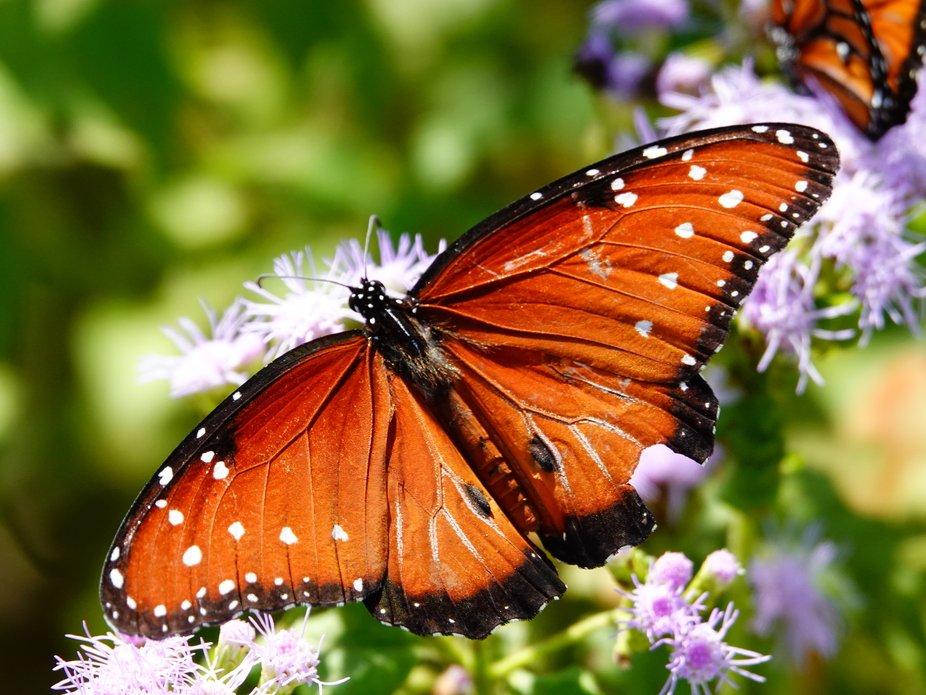 Monarch Butterfly 01