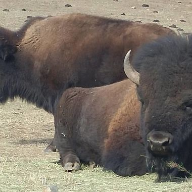 The mighty buffalo. Majestic in everything they do.