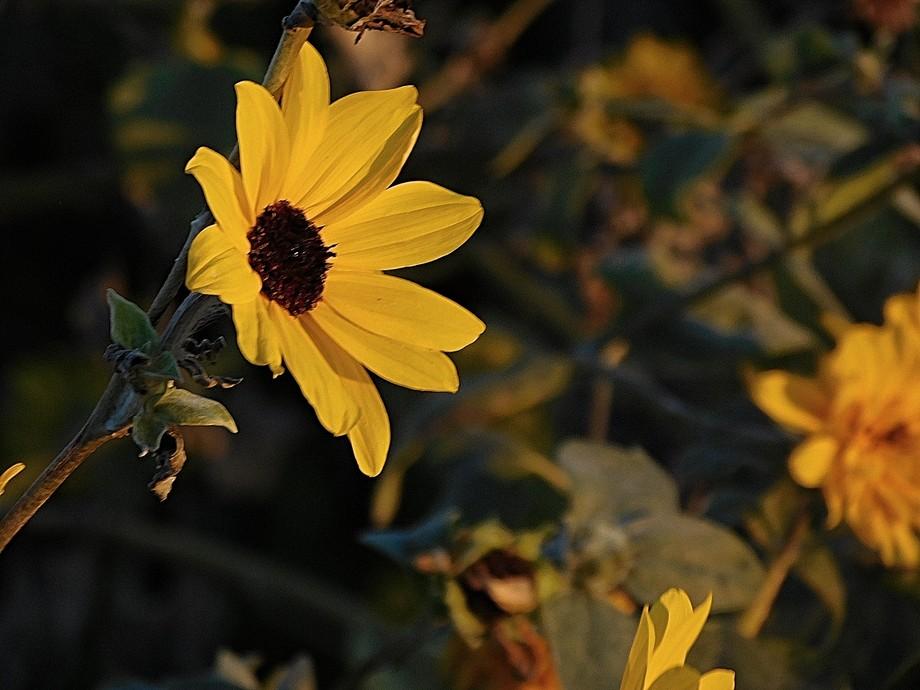 Flower facing the sunset