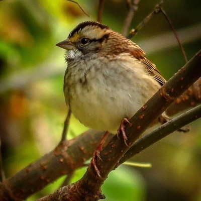 White-throated Sparrow in the thickets.  #trailsend #whitethroatedsparrow #birding #birdwatching #birdphotography #outthebackdoor #backyardnature #canon_photos #canonphotography #pocket_birds #best_birds_of_world #raw_birds #elite_worldwide_birds #bird_br