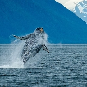Humpback whale breach in Frederick Sound, Alaska