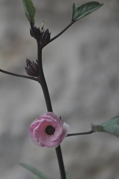 Spanish Roselle,Hibiscus Sabdariffa in Provence